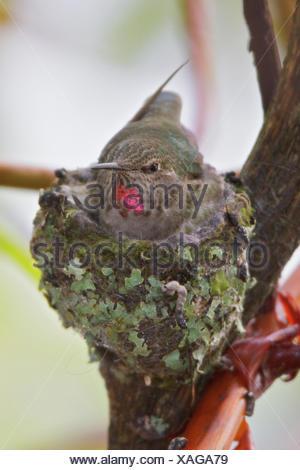Anna's Hummingbird, Calypte anna - Stock Photo