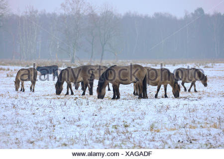 Konik horse (Equus przewalskii f. caballus), konik horses standing in a snowy meadow and grazing , Germany - Stock Photo