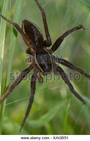 Female Raft spider (Dolomedes fimbriatus) - Stock Photo