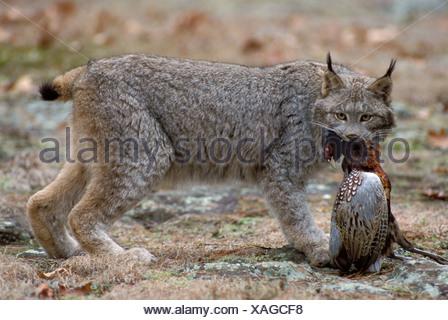 Lynx Lynx canadensis Minnesota USA - Stock Photo