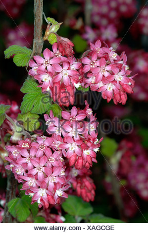 blood currant, red-flower currant, red-flowering currant (Ribes sanguineum), inflorescences - Stock Photo