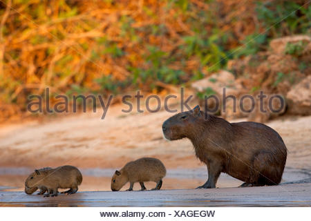 Capybara (Hydrochoerus hydrochaeris) Mother young riverbank Pantanal Brazil - Stock Photo