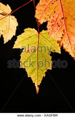 Maple (Acer sp.), leaves in autumn, North Rhine-Westphalia - Stock Photo