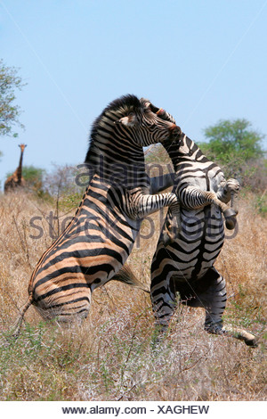 Common Zebra (Equus quagga), two stallions fighting, South Africa, Krueger Nationalpark - Stock Photo