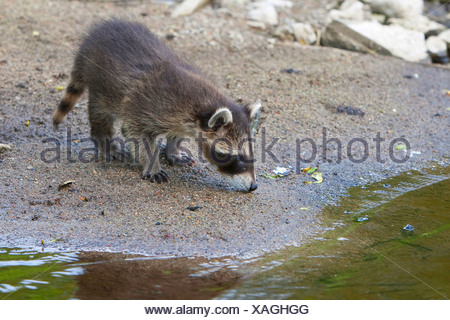common raccoon (Procyon lotor), two months old young animal standing on the waterfront, Germany - Stock Photo