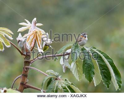 Bird, Tick-tick, Chapada Diamantina, Bahia, Brazil - Stock Photo