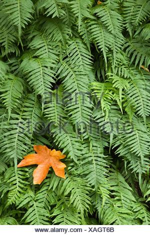 Close-up of Licorice Fern (Polypodium glycyrrhiza), Columbia River Gorge, Oregon, USA - Stock Photo