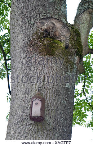 domestic cat, house cat (Felis silvestris f. catus), climbing up a tree trunk to get to a nest box fixed there, Germany - Stock Photo