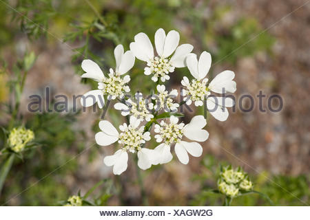 French Cow Parsley (Orlaya grandiflora), flowering, native to the Mediterranean, Thuringia, Germany - Stock Photo