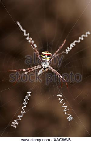 Wasp spider on web with prey, Luang Prabang, Laos - Stock Photo