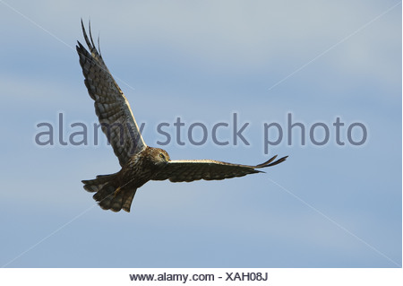 African Marsh Harrier (Circus ranivorus) adult, in flight, Godikwe, Okavango Delta, Botswana - Stock Photo