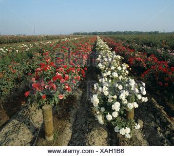 Nursery field rose crops in flower, California, USA - Stock Photo
