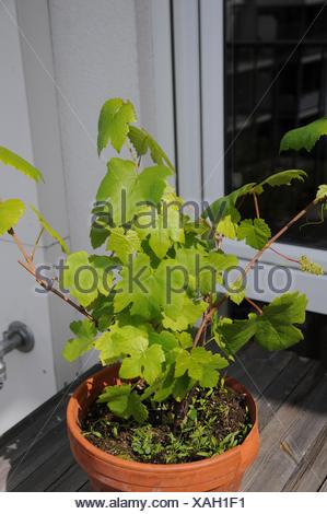 Fox grape Boskoops Glorie - Stock Photo