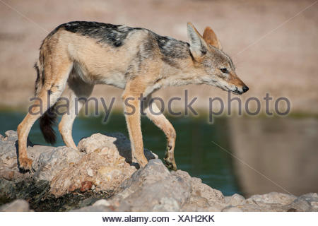 Black-backed Jackal (Canis mesomelas) at a waterhole, Kgalagadi Transfrontier Park, Northern Cape, South Africa - Stock Photo