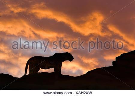 Leopard (Panthera pardus), Masai Mara Game Reserve, Kenya, East Africa - Stock Photo