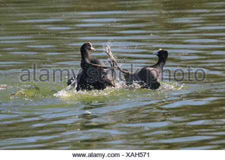 black coot (Fulica atra), two black coots fighting, Germany - Stock Photo