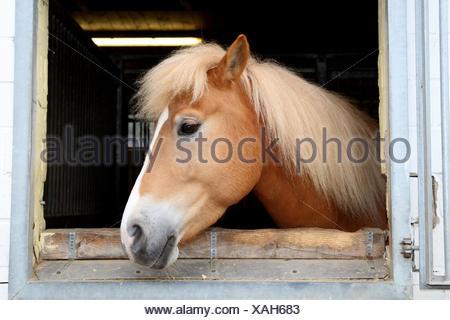 Stable, window, Haflinger horse, portrait, side view, - Stock Photo