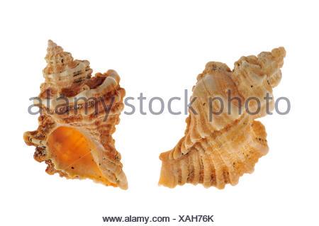 Sting winkle / Oyster drill / Hedgehog Murex (Ocenebra erinacea) shells, Brittany, France - Stock Photo