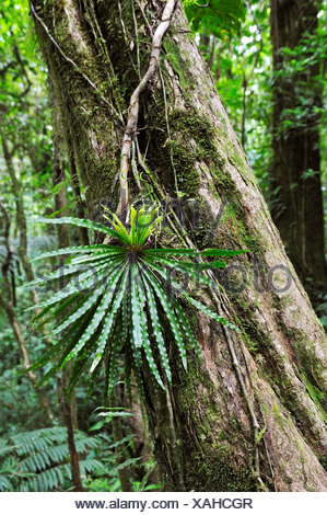 Epiphyte, fern growing on a tree trunk in the cloud forest, Selvatura Park, Monteverde, province of Alajuela, Costa Rica - Stock Photo