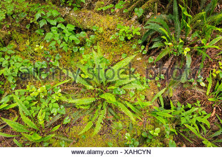 Ferns in undergrowth of forest Helliwell Provincial Park British Columbia Canada - Stock Photo