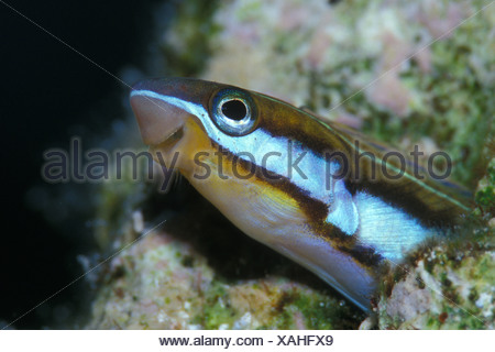 Bluestriped Fangblenny, Plagiotremus rhinorhynchus, Nuweiba, Sinai, Red Sea, Egypt - Stock Photo