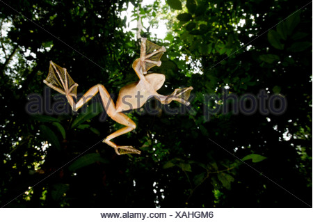 Wallace's Flying frog Rhacophorus nigropalmatus perched in understory vegetation Danum Valley Sabah State Island Borneo Malaysia - Stock Photo