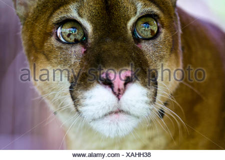 The wide-eyed inquisitive yet serene stare of a Mountain Lion with lime green eyes. - Stock Photo