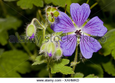 Medow  cranesbill   Geranium pratense - Stock Photo