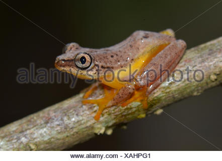 Spotted Madagascar Reed Frog (Heterixalus Punctatus), nocturnal frog, Madagascar - Stock Photo