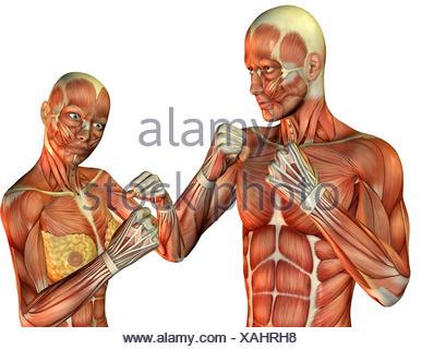 3D Rendering Anatomie und Muskulatur der Frau beim laufen Stock ...