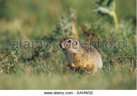 European Ground Squirrel, European Suslik, European Souslik (Citellus citellus, Spermophilus citellus). - Stock Photo