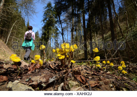 coltsfoot; walk; spring walk; wander; hike; - Stock Photo