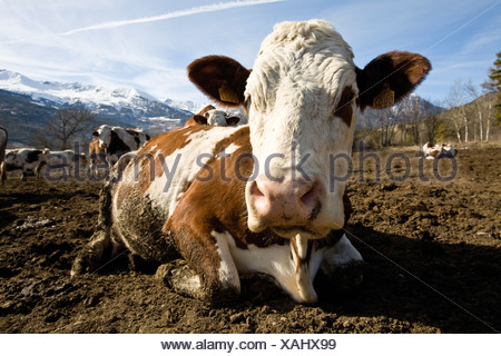Cow lying down, mountains in background - Stock Photo