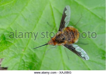 Large Bee Fly (Bombylius major), North Rhine-Westphalia, Germany