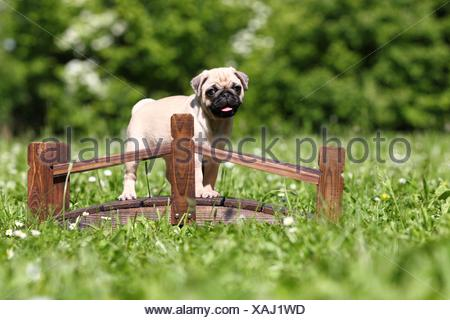 pug puppy - Stock Photo