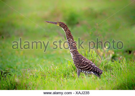 Rufescent Tiger Heron, young, Pantanal, Mato Grosso, Brazil, South America / (Tigrisoma lineatum) - Stock Photo