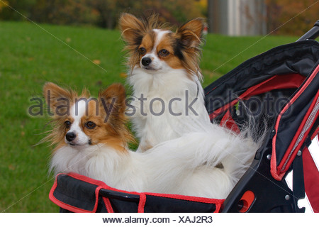 Papillon (Canis lupus f. familiaris), two Papillons sitting in a dog buggy - Stock Photo