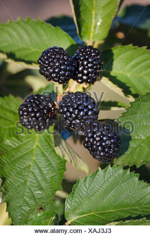 shrubby blackberry (Rubus fruticosus 'Chester Thornless', Rubus fruticosus Chester Thornless), cultivar Chester Thornless - Stock Photo