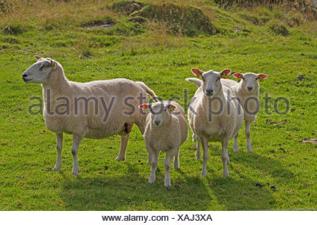 domestic sheep (Ovis ammon f. aries), four sheeps standing on a pasture, Norway, Hitra - Stock Photo