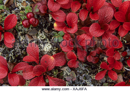 lpine Bearberry the berries appreciated by birds