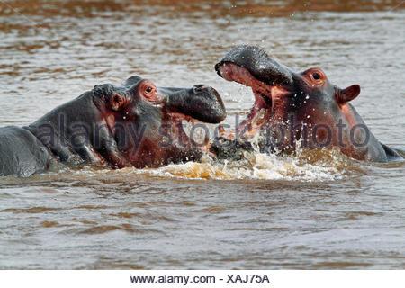 hippopotamus, hippo, Common hippopotamus (Hippopotamus amphibius), two fighting hippos in water, Kenya, Masai Mara National Park - Stock Photo