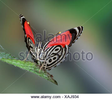 89 Butterfly (Diaethria clymena) Trinidad, captive. - Stock Photo
