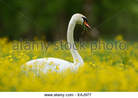 Mute Swan (Cygnus olor) feeding on buttercups (Ranunculus), Sarnen, Canton of Obwalden, Switzerland - Stock Photo