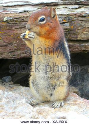 Ground Squirrel Standing On Rock - Stock Photo