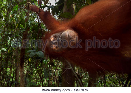 Sumatran orangutan (Pongo abelii) female 'Juni' aged 12 years swinging liana. Gunung Leuser National Park Sumatra Indonesia. Rehabilitated released (or descended those which were released) between 1973 1995. - Stock Photo
