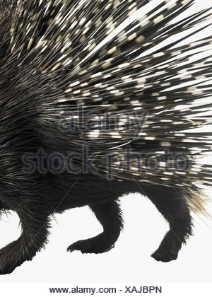 Porcupine quills - Stock Photo