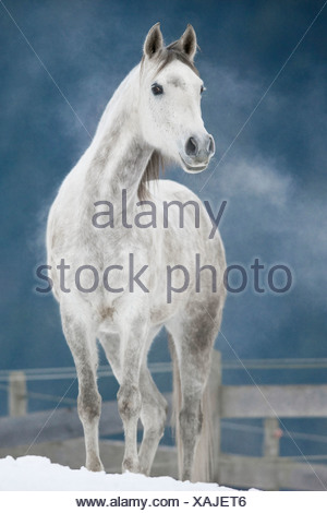 Arabian horse - standing in snow - Stock Photo