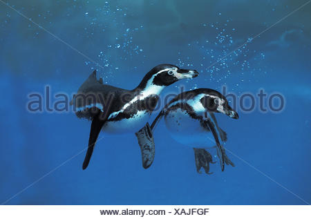 Humboldt Penguin,  spheniscus humboldti - Stock Photo