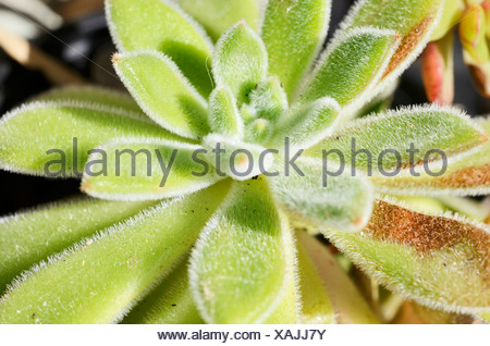 Firecracker Plant (Echeveria setosa), succulent plant with hairy leaves - Stock Photo