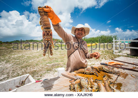 ANEGADA ISLAND, BRITISH VIRGIN ISLANDS, CARIBBEAN. A man holds a fresh lobster up above a wooden table where he guts other lobsters. - Stock Photo